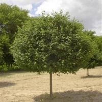 Gömbkoronájú mezei juhar (Acer campestre 'Nana')