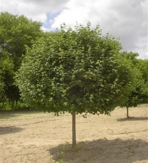 Gömbkoronájú mezei juhar (<span>Acer campestre</span> 'Nana')