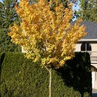 Mezei juhar (Acer campestre 'Queen Elizabeth')