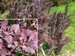 Vöröslevelű közönséges borbolya (<span>Berberis vulgaris</span> 'Atropurpurea')