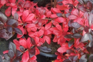 Fényes levelű ékszerborbolya (<span>Berberis x media</span> 'Red Jewel')