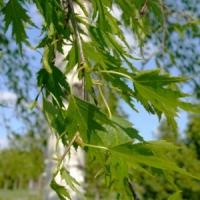Szeldelt levelű nyír (Betula pendula 'Dalecarlica')