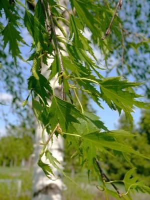 Szeldelt levelű nyír (<span>Betula pendula</span> 'Dalecarlica')