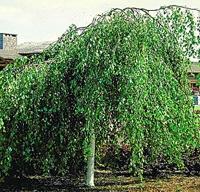 Csüngő nyír (Betula pendula 'Youngii')