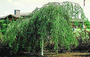 Csüngő nyír (<span>Betula pendula</span> 'Youngii')