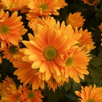 Krizantém (Chrysanthemum x hortorum)