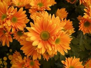 Krizantém (<span>Chrysanthemum x hortorum</span>)