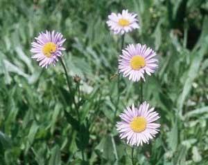 Küllőrojt (<span>Erigeron x hybridus</span>)