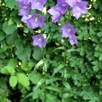 Harangvirág (Campanula )