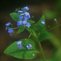 Kaukázusi nefelejcs (Brunnera macrophylla)