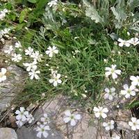 Fátyolvirág (Gypsophila )