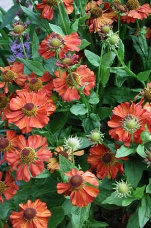 Napfényvirág (<span>Helenium x hybridum</span>)
