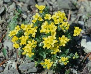 Havasi daravirág (<span>Draba aizoides</span>)