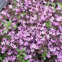 Gyepes szappanfű (Saponaria ocymoides)