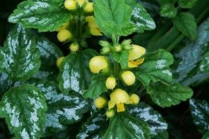 Sárga árvacsalán (<span>Galeobdolon luteum</span> 'Florentinum')