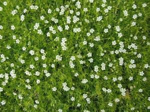 Szálkás zöldhúr (<span>Sagina subulata</span>)