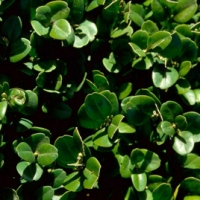 Nagylevelű puszpáng (Buxus sempervirens 'Bullata')