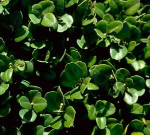 Nagylevelű puszpáng (<span>Buxus sempervirens</span> 'Bullata')
