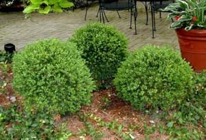 Fényeslevelű puszpáng (<span>Buxus sempervirens</span> 'Green Velvet')