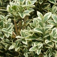 Tarka puszpáng (Buxus sempervirens 'Variegata')