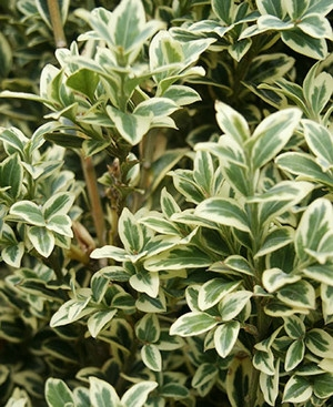Tarka puszpáng (<span>Buxus sempervirens</span> 'Variegata')
