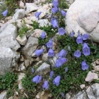 Törpe harangvirág (Campanula cochleariifolia)