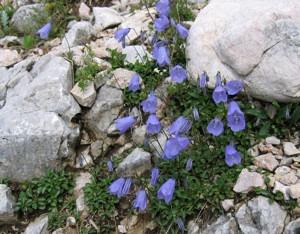 Törpe harangvirág (<span>Campanula cochleariifolia</span>)