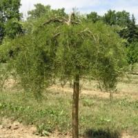 Borsófa (Caragana arborescens 'Walker')