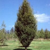 Oszlopos gyertyán (Carpinus betulus 'Fastigiata')