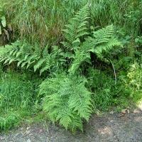 Széles pajzsika (Dryopteris dilatata)