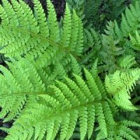 Vesepáfrány (Polystichum spp)