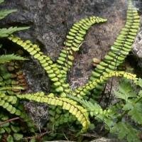 Aranyos fodorka (Asplenium trichomanes)