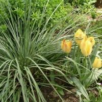 Örökzöld zabfű (Avena sempervirens)