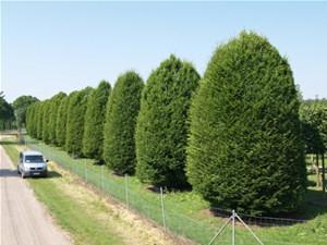 Óriás gyertyán (<span>Carpinus betulus</span> 'Monumentalis')