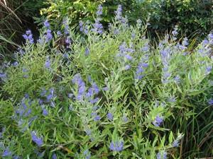 Kékszakáll (<span>Caryopteris x clandonensis</span>)
