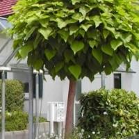 Gömbszivarfa (Catalpa bignonioides 'Nana')