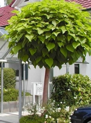 Gömbszivarfa (<span>Catalpa bignonioides</span> 'Nana')