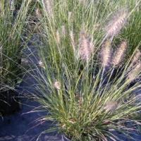 Kínai tollborzfű (Pennisetum compressum)