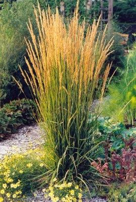 Nádtippan (<span>Calamagrostis x acutiflora</span>)