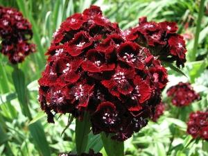 Törökszegfű (<span>Dianthus barbatus</span>)