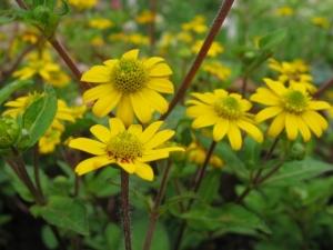 Tömpevirág (<span>Sanvitalia procumbens</span>)