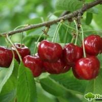 Cseresznye (Cerasus avium 'Margit')