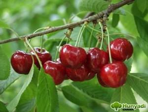 Cseresznye (<span>Cerasus avium</span> 'Margit')