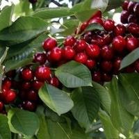 Cseresznye (Cerasus avium 'Sweetheart')