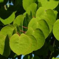 Kislevelű kacsurafa (Cercidiphyllum japonicum)