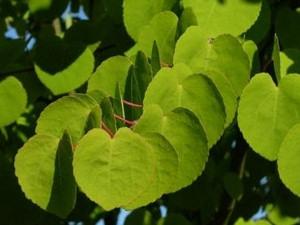 Kislevelű kacsurafa (<span>Cercidiphyllum japonicum</span>)
