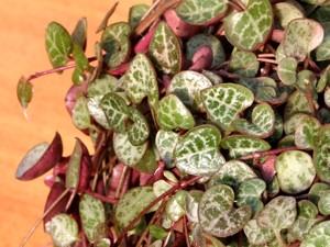 Gyertyavirág (<span>Ceropegia sp.</span>)