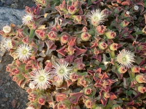 Kristályvirág (<span>Mesembryanthemum crystallinum</span>)