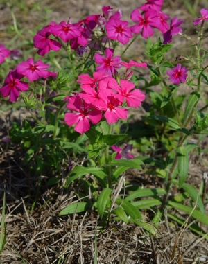 Árlevelű lángvirág (<span>Phlox drumondii</span>)