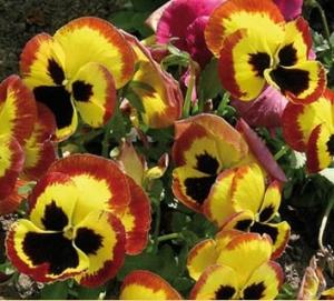 Árvácska (<span>Viola wittrockiana</span> 'tricolor maxima')